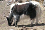 Annapurna Ghorepani Punhill (11)