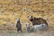 Pakistan brown Bear of Deosai