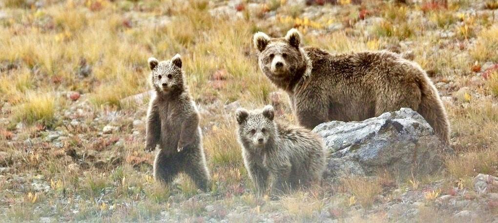 Brown Bear, Deosai, Pakistan